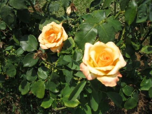 Tyler Rose Garden, Tyler, Texas